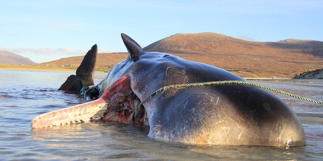 A sperm whale that stranded and died on the shores of an island in Scotland had a 220-pound ball of trash inside its stomach.