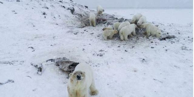 Conservationists counted at least 50 polar bears.