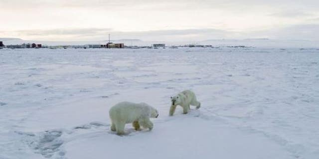 The polar bears have traveled close to the village. (World Wildlife Fund)