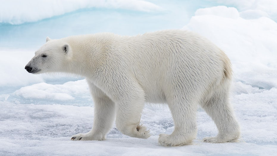 Polar bears birthing could be disrupted by warming climate ...