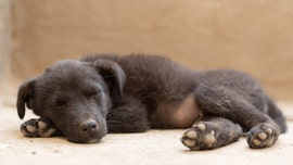 Puppy store investigated after 'concerning' video suggests puppies were drugged