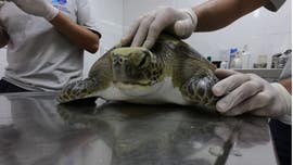 Rescued green turtle poops out wide range of human trash