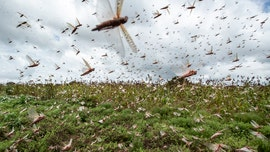Coronavirus makes it harder to battle swarms of locusts ravaging Africa