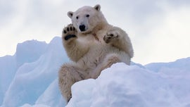 Polar bear in Greenland seen 'waving,' photographs reveal