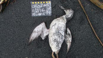 Giant 'hot blob' in Pacific Ocean caused 1 million seabirds to die