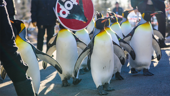 Canadian zoo cancels penguin walk due to 'extreme cold weather conditions'