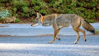 Coyote on Arizona airport's airfield forces flights to briefly circle runway