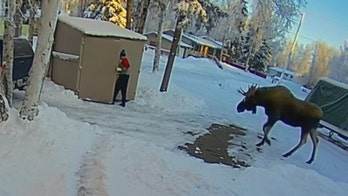 Moose traps Alaska man inside shed while he frantically calls wife, doorbell camera captures encounter