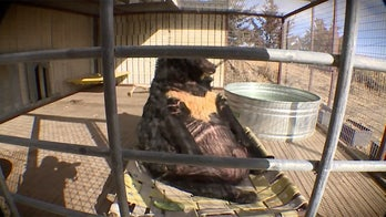 'Obese' bear removed from Pennsylvania club after living in poor conditions for 'possibly decades': report