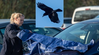 Crow rips windshield wipers off 20 cars, but why?