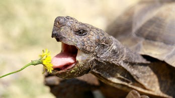 Forget Groundhog Day — California has a tortoise that signals the coming of spring