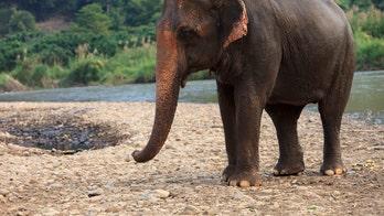 Elephant gently walking through Sri Lankan hotel goes viral, winning praise from Twitter