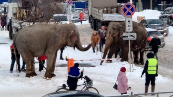 Elephants escape circus in Russia, go for a stroll through city's snowy streets