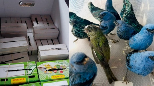 Belgian man arrested in Peru airport with 20 live birds in suitcase, investigators say