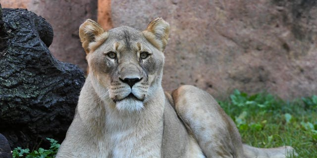 Isis, female African lion, at Brookfield Zoo