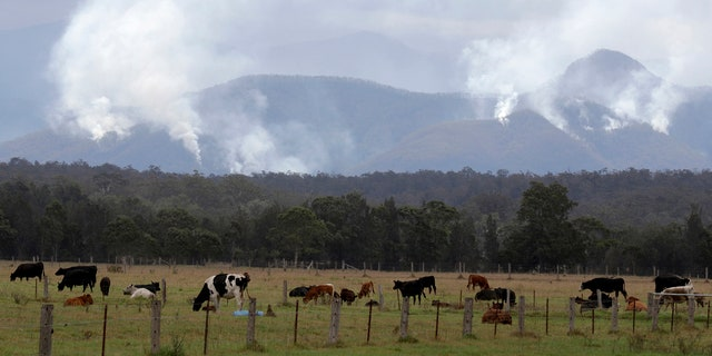 Cattle graze in a field as smoke rises from burning fires on mountains near Moruya, Australia, Thursday, Jan. 9, 2020.