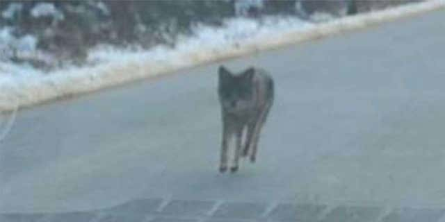 Authorities in New Hampshire posted this photo to warn about the coyote attack.