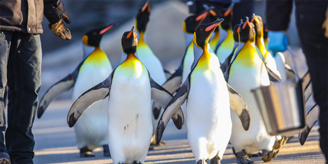 """The Calgary Zoo said that extreme cold puts """"physiological stress"""" on king penguins, which are native to the sub-Antarctic and not adapted to the bitter cold."""