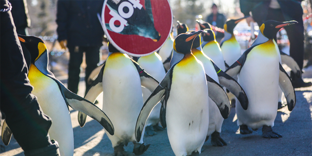 The Calgary Zoo has been forced to cancel its daily penguin walk due to bitterly cold temperatures.