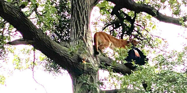 The mountain lion ran up a tree after the father hurled a backpack, investigators said.