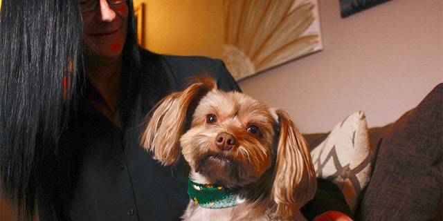 In this Nov. 5, 2019 photo, in St. Francis, Wis., Amy Carter looks at her Yorkshire terrier-Chihuahua mix Bentley, who has epilepsy. Carter gives him CBD, which she says has reduced his seizures. (AP Photo/Carrie Antlfinger)