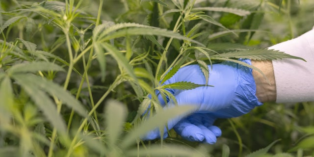 Cannabis plants contain dozens of chemical compounds called cannabinoids.