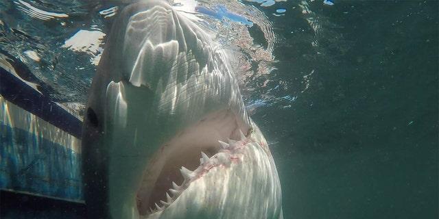 South Carolina fisherman hooks massive great white shark, hopes coverage will help solve fatal hit-and-run case