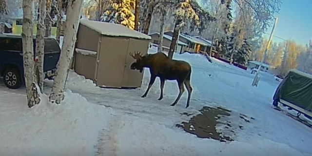 The family believes this moose may be the same that was birthed in their backyard two years ago.