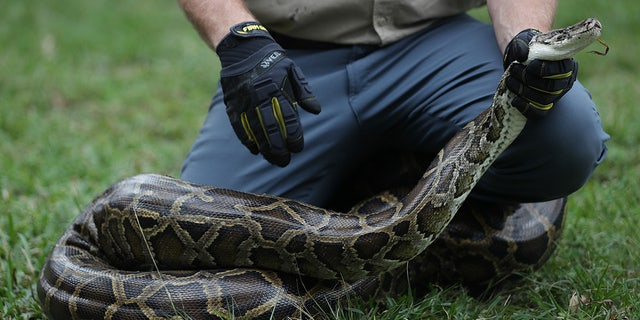 Westlake Legal Group Python-Bowl-GettyImages-1198695333 Florida Python Bowl nets 80 snakes for cash prizes in Everglades Stephen Sorace fox-news/us/us-regions/southeast/florida fox-news/us/environment fox-news/science/wild-nature/reptiles fox news fnc/us fnc e01abf6d-12fa-5c77-86a8-0400a096adfd article