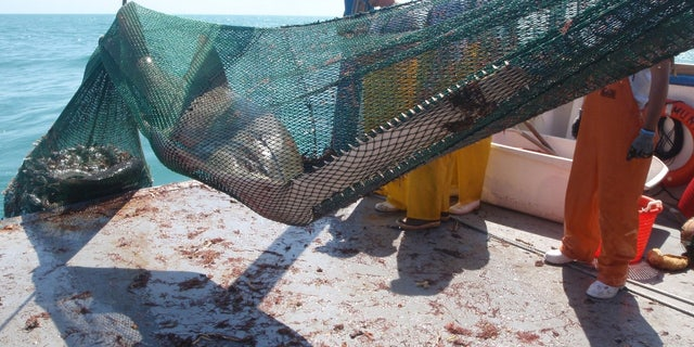 A photo released by the Florida Fish and Wildlife Conservation Commission (FWC) shows an example of a sawfish getting caught in a trawling net on a commercial fishing vessel.