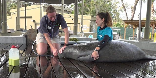 Jaime Vaccaro (left) tending to Volt, one of the manatees being rehabilitated by the ZooTampa staff (Robert Sherman, Fox News).