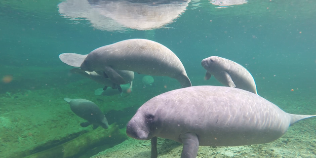 Underwater photograph of manatees taken near Blue Springs State Park in Florida (photo courtesy of the Save the Manatee Club).