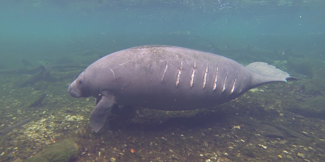 A wild manatee bearing boat strike scars (photo courtesy of the Save the Manatee Club).