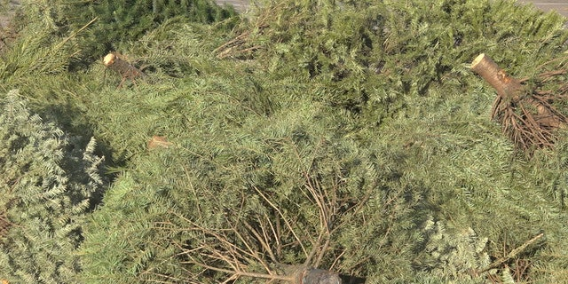 Westlake Legal Group TREES-AT-DROP-OFF Arizona college students expand Christmas tree removal business Stephanie Bennett fox-news/us/us-regions/southwest/arizona fox-news/lifestyle/occasions/christmas fox news fnc/us fnc b34a5d19-2c11-59a8-886d-9b79ce27d4ec article