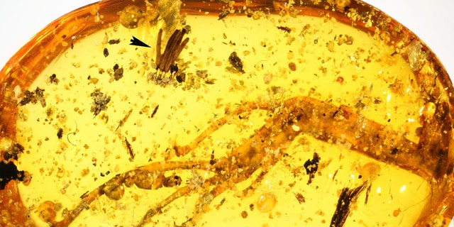 100-million-year-old amber piece with lizard leg and mycomycete. (Credit: Alexander Schmidt, University of Göttingen and Scientific Reports)