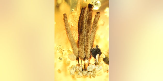 Group of several fruiting bodies of a slime mould (myxomycetes), around 2.5 millimetres long, in amber, which is about 100 million years old, from Myanmar: long-stalked fruiting bodies support the distribution of the spores, then as now. (Credit: Alexander Schmidt, University of Göttingen and Scientific Reports)