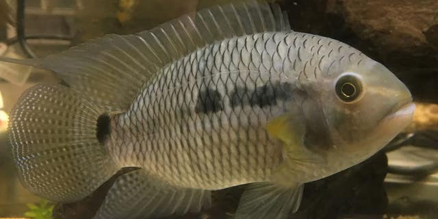 The black acara, Cichlasoma bimaculatum, has been a well-established invasive freshwater fish in South Florida since the 1950s.