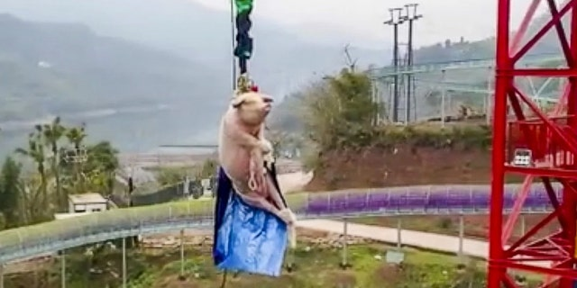 Outrage as Chinese Theme Park Forces Live Pig To Bungee Jump