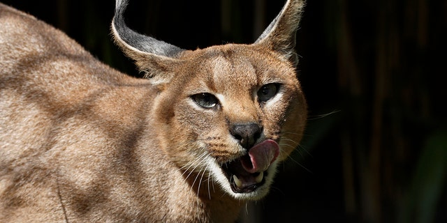 "Caracals, or ""desert lynxes,"" are a rare breed of cat native to Africa."