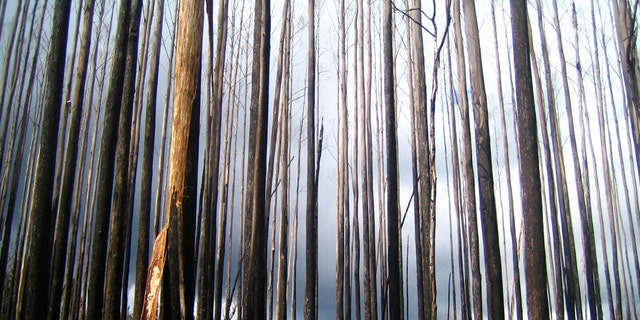 This 2010 photo provided by Sebastian Pfautsch shows an alpine ash forest that burned during 2009 wildfires with early signs of regrowth in Victoria, Australia. Heat waves and drought are fueling bigger and more frequent fires in Australia and there are worries some stands of trees won't return. (Sebastian Pfautsch via AP)