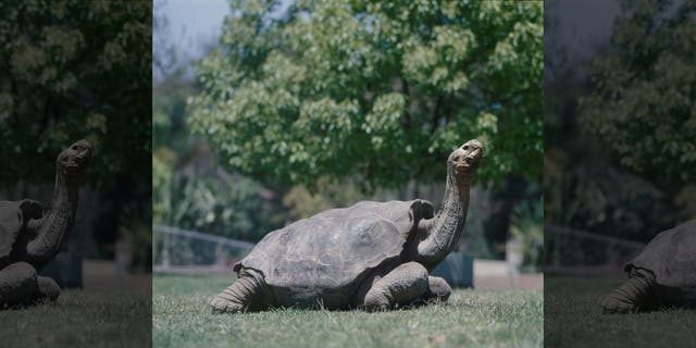 The famed Galapagos giant tortoise named Diego fathered 40 percent of all tortoises on Espanola Island in the Galapagos.