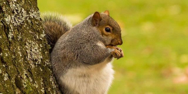These funny pictures show what could be the fattest squirrel in the U.K. (Credit: SWNS)