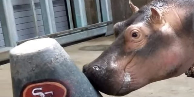 Westlake Legal Group fiona-hippo1280 Fiona the hippo, other Cincinnati Zoo animals offer Super Bowl predictions fox-news/news-events/super-bowl fox news fnc/lifestyle fnc article Alexandra Deabler 6cdfa3ec-0ff3-52e3-a5af-6385849c847b
