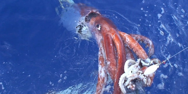Westlake Legal Group giant-squid-1 Scientists unlock secrets about mysterious giant squid fox-news/science/wild-nature/fish fox-news/science/natural-science/genetics fox-news/science fox news fnc/science fnc fd6c1457-c439-52c1-a1fc-bd8da6bb2214 Chris Ciaccia article