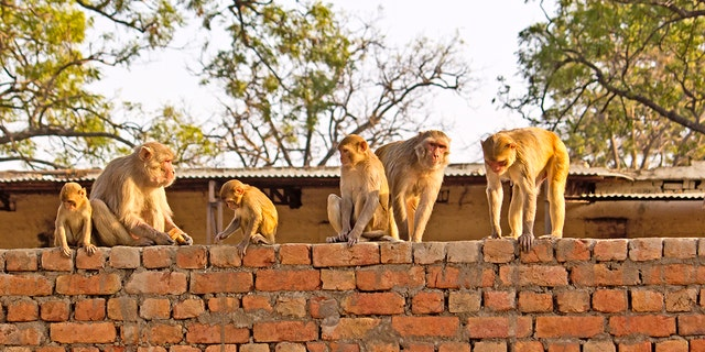 The monkey population is rapidly rising throughout parts of India, a forest official told local news outlets.