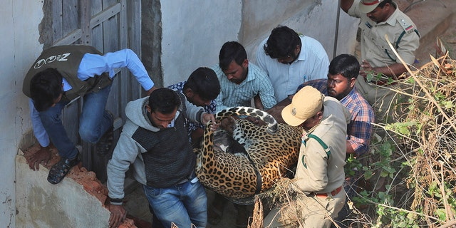 Indian wildlife officials carried a tranquilized leopard they found on the terrace of a house in Shadnagar. (AP Photo/Mahesh Kumar A.)