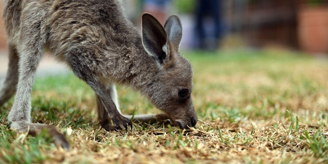 This photo taken on January 9, 2020, shows a rescued kangaroo being cared for by volunteers of wildlife rescue group WIRES, who are working to save and rehabilitate animals from the months-long bushfire disaster, on the outskirts of Sydney. (SAEED KHAN/AFP via Getty Images)