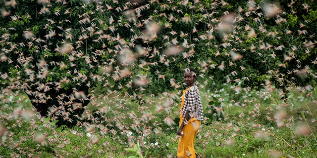A farmer looks back as she walks through swarms of desert locusts feeding on her crops, in Kenya on Friday. (AP Photo/Ben Curtis)