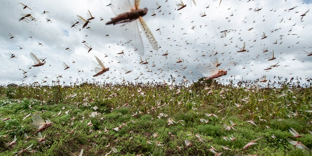 Swarms of desert locusts fly up into the air from crops in Kenya on Friday. (AP Photo/Ben Curtis)