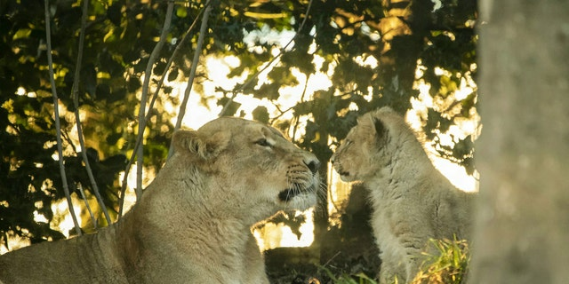 Roberta was snapped touching noses with a five-month-old cub at Edinburgh Zoo. The mum gave birth in August 2019 to five cubs - but only three survived. The three Asiatic lion cubs were named Mitaali, Keshari and Kushanu. (Credit: SWNS)